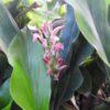 Alpinia japonica Peppermint Stick