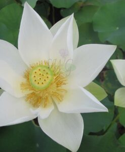 Nelumbo Lotus Angel Wings