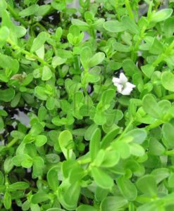 Bacopa monniera (Brahmi) Memory Herb