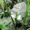 Calathea louisae