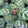 Calathea makoyana or Peacock plant