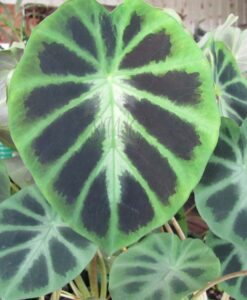 Colocasia heterochroma Dark Shadows