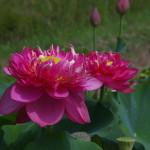 Nelumbo Lotus Crimson Velvet