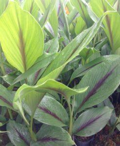 Curcuma caesia sp. Black turmeric