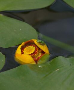 nuphar lutea pond lily