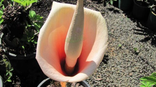 AMORPHOPHALLUS Bulbifera Snake Plant