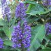 Dichorisandra thyrsiflora Blue Ginger