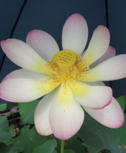 Nelumbo Lotus Carolinia Queen