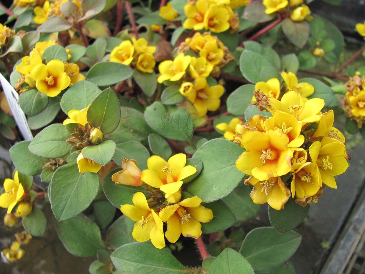 Lysimachia Congestiflora Golden Clusters Suncoast Tropicals