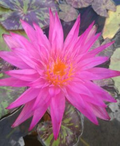 Nymphaea tropical Miami Rose