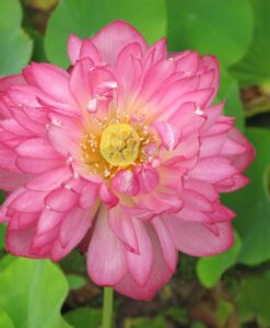 Nelumbo Lotus Momo Botan