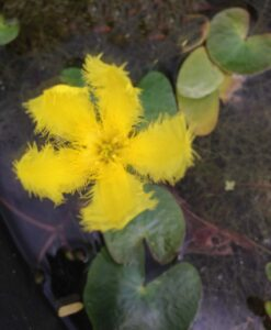 Nymphoides geminata Entire Marshwort