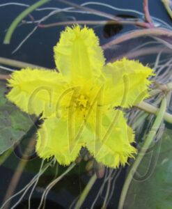 Nymphoides spinulosperma showy Marshwort