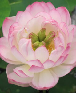 Nelumbo Lotus Miniature Pink Bowl Lotus