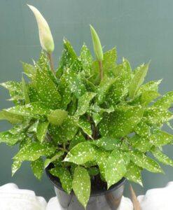 Pseudodracontium lacourii