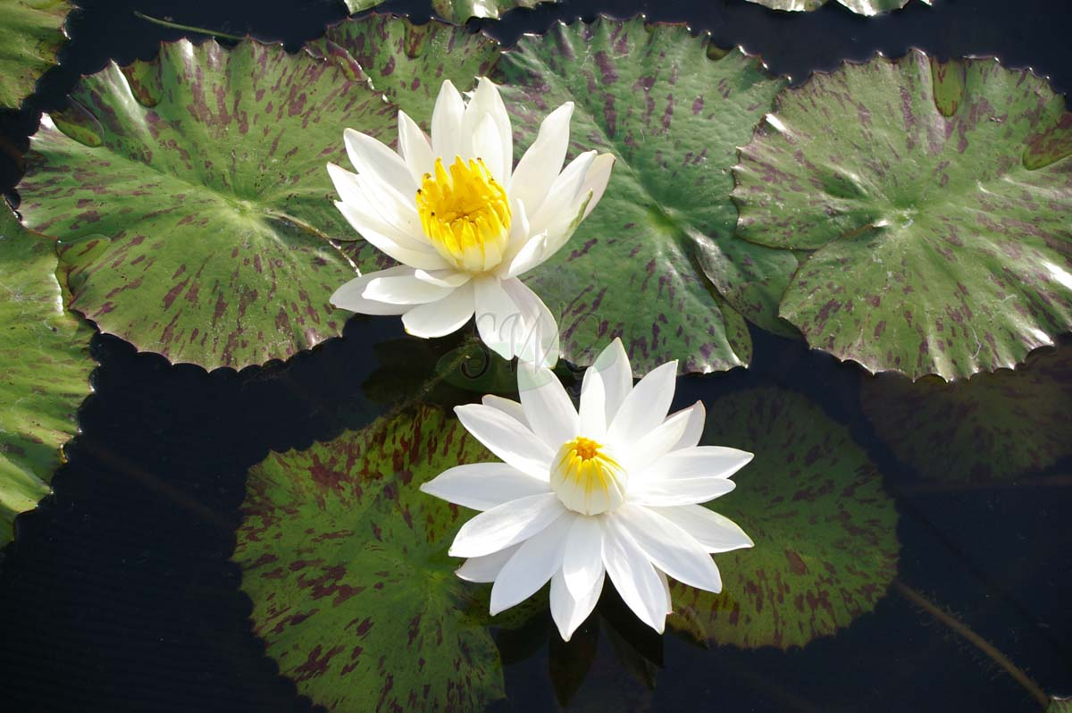 Nymphaea Tropical Nocturnal Tiger Lotus Suncoast Tropicals
