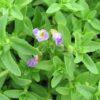limnophila aromatica rice paddy herb