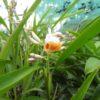 Alpinia sp. Mini Shell