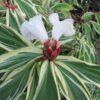 Cheilocostus speciosus variegatus Crepe Ginger