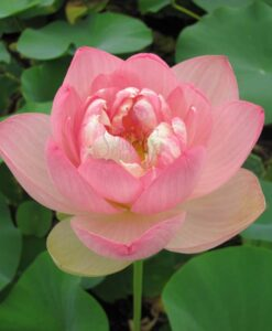 Nelumbo Lotus Perry Slocum