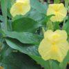 sephanochilis decorus yellow trumpet