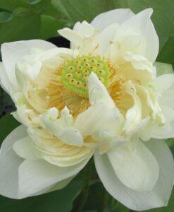 Nelumbo Lotus Shiroman