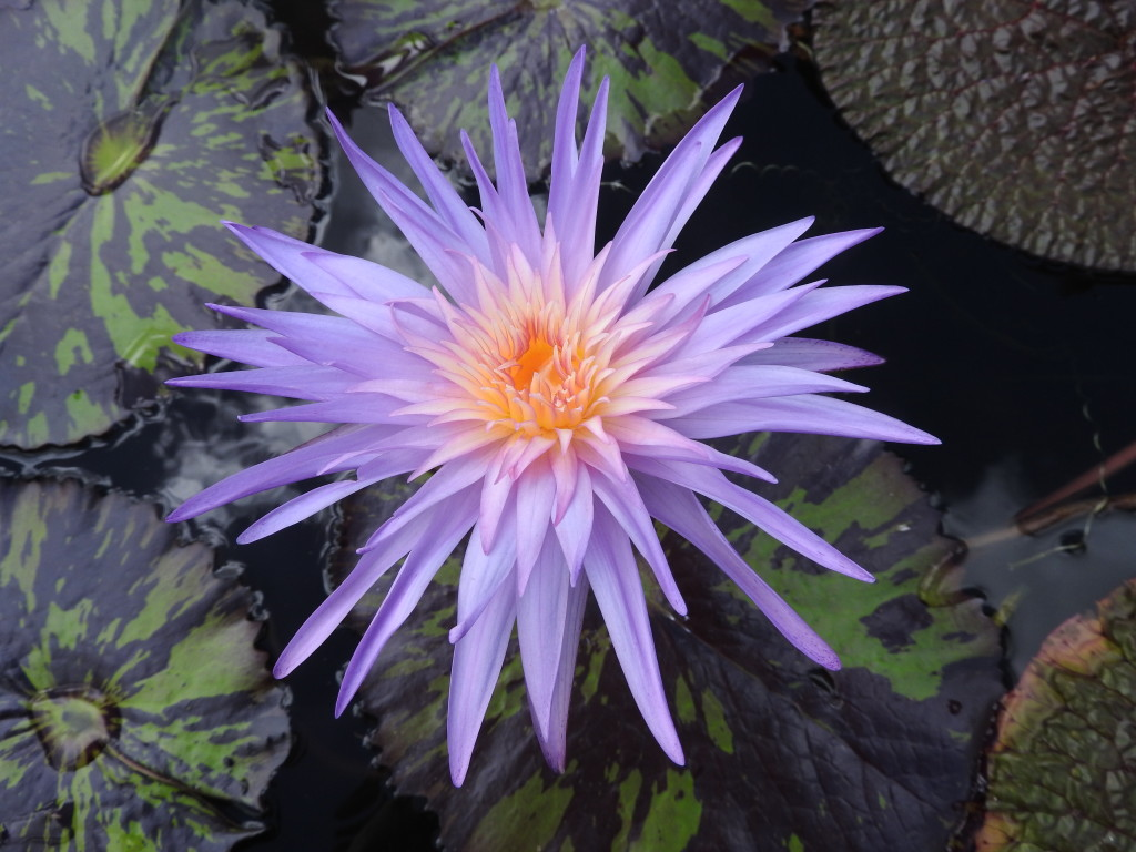 nymphaea tropical firefox
