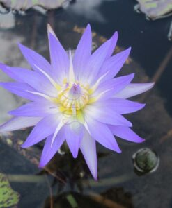 Nymphaea Tropical Star of Siam