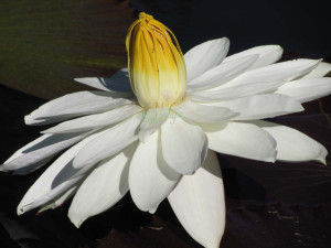 nocturnal waterlily